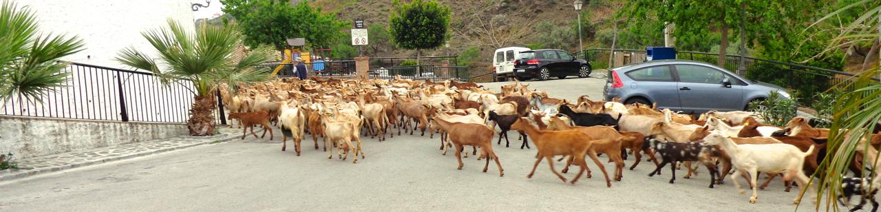 El Borge kudde geiten