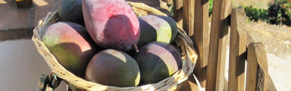 Mangos uit de boomgaard van Finca