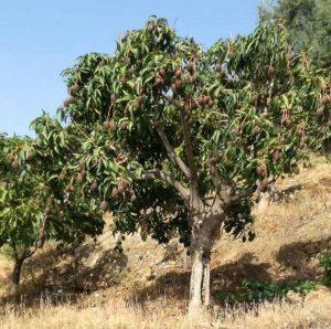 Andalusische mangoboom