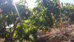 Dit zijn mango's van de soort Sensacion