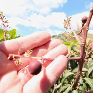 mangos in Andalusie in de groei
