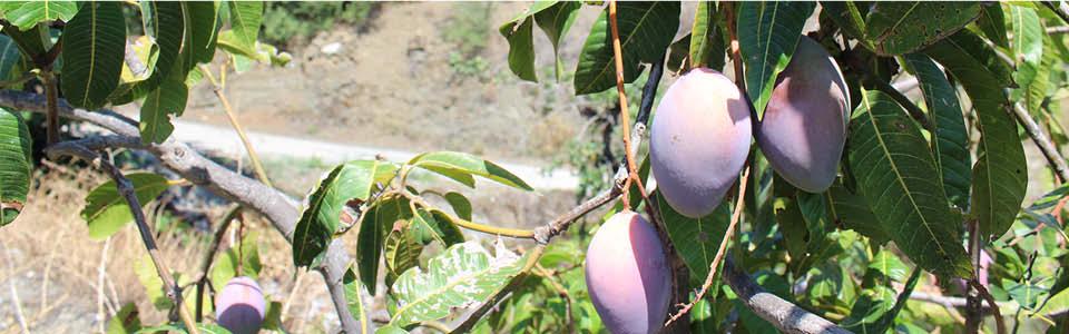 mangobomen bij het vakantiehuis